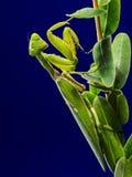 Green Praying Mantis on Green Leaf Stock Photos