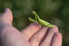 Green praying mantis on hand royalty free stock photos
