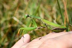 Green praying mantis on hand. Stock Images