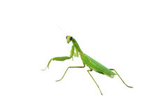 Green praying mantis insect Royalty Free Stock Photo