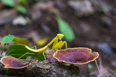 Green praying mantis insect on mushroom Royalty Free Stock Photo