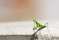 Green praying mantis Stock Photos