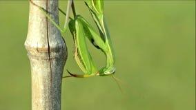 Green Praying Mantis (Mantis religiosa). stock footage