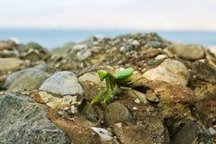 Green praying mantis (Mantis religiosa). Closeup image of green praying mantis (Mantis religiosa) is sitting on the rock near sea, front view Royalty Free Stock Image