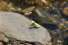 Green Praying Mantis (mantis Religiosa) Royalty Free Stock Images