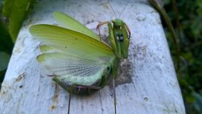 Green praying mantis. Nice insect stock photography
