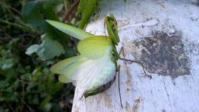 Green praying mantis. Nice insect stock photo