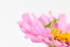 Green praying mantis nymph Royalty Free Stock Photo