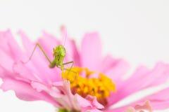 Green praying mantis nymph Royalty Free Stock Photos
