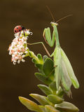 Green praying mantis and red ladybug on the blossom plant Stock Image