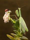 Green praying mantis and red ladybug on the blossom plant. Mantis and ladybug on the blossom plant Stock Image