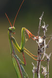 Green praying  mantis with red leg and  antenna on the plant Royalty Free Stock Image