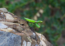 Green praying mantis Royalty Free Stock Photos