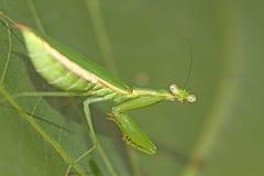 Green praying mantis Stock Photography
