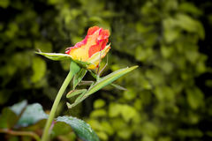 Green Praying Mantis on a Rose Royalty Free Stock Photography