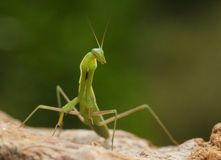 Green praying mantis on a stone. With an unfocused green background Stock Images