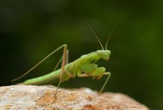 Green praying mantis on a stone. With an unfocused green background Royalty Free Stock Photography