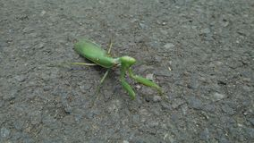 Green praying mantis on the street. Blur or blurred background. stock photo