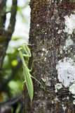 Green Praying Mantis on Tree Stock Photos