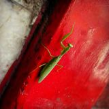 Green praying mantis on a vivid red wall Stock Photo