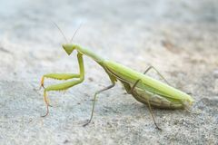 Green mantis in the wild royalty free stock image