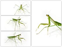 Green Preying Mantis collection Stock Photo