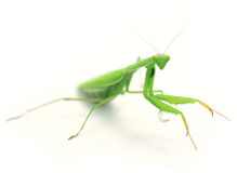 Green preying mantis ISOLATED. Green Preying Mantis (Mantis religiosa) isolated on white background Stock Photography