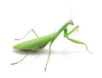 Green preying mantis ISOLATED Royalty Free Stock Photography