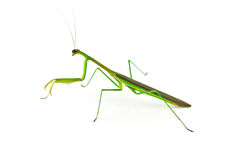 Green Preying Mantis. Isolated on white background Stock Photos