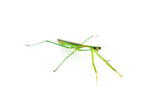 Green Preying Mantis. Isolated on white background Royalty Free Stock Images