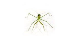 Green Preying Mantis Stock Photos