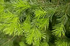 Green prickly branches Royalty Free Stock Photo