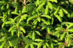 Green prickly branches of a fir-tree Royalty Free Stock Images