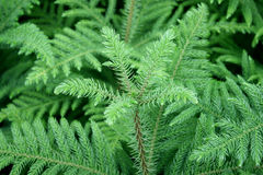 Green prickly branches of a fur-tree Stock Photography