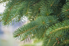Green prickly branches of a fur-tree or pine Stock Image