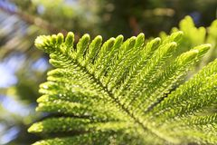 Green prickly branches of a fur-tree or pine Royalty Free Stock Photo
