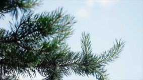 Green prickly branches of a fur-tree or pine. Nice fir branches. Close up. Bright evergreen fresh pine tree green Royalty Free Stock Images
