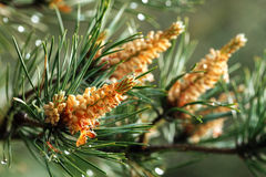 Green prickly branches of pine Stock Photo
