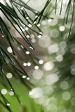 Green prickly branches of pine Royalty Free Stock Images