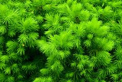 Green prickly bush. With the drops of dew as a background royalty free stock photos