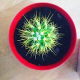 Green prickly cactus in Red Pot Royalty Free Stock Photo
