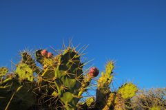 Green Prickly Pear Cactus Leaf Stock Image