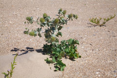 Green prickly plant in the sand Stock Images