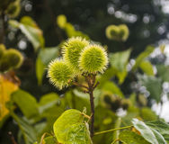 Green Puff Ball Tree. Tree green puff ball flowers stand vibrant in a botanical garden in Costa Rica Stock Images