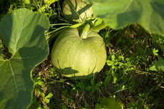 Green pumpkin Stock Photo