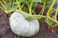 Green pumpkin in the garden Stock Image