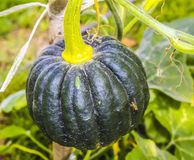 The green pumpkin. On the ground Stock Photography