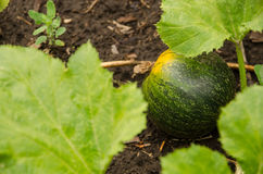 Green pumpkin growing in the garden.  Royalty Free Stock Photography