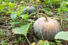 Green pumpkin growing on the vegetable patch Royalty Free Stock Photography
