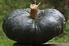 Green Pumpkin Stock Photography